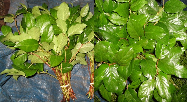 Salal Tips 100 Stems per case Only $22.50.00 SORRY OUT OF SEASON
